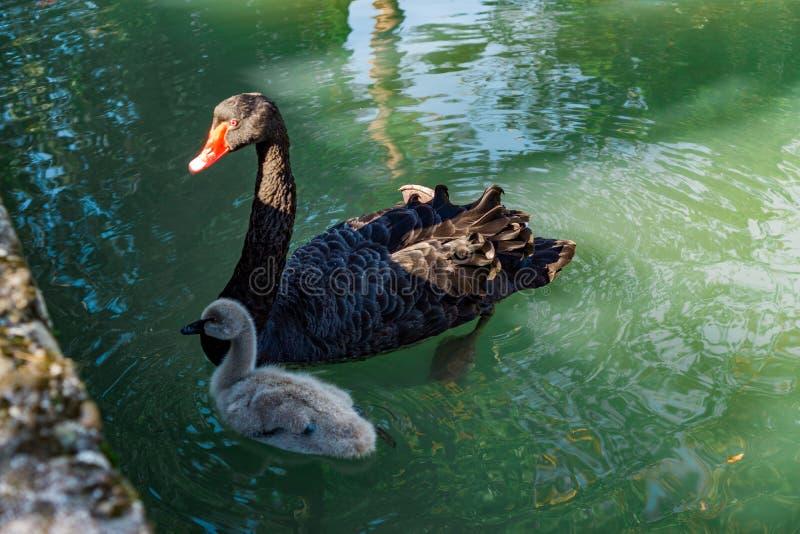 Zwarte Zwaan en Welp die in de vijver zwemmen stock afbeelding
