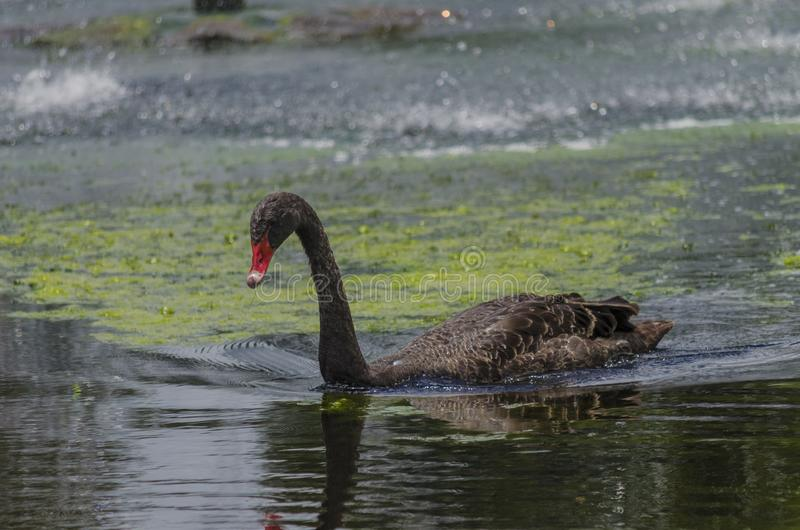 Zwarte Zwaan in Gympie Qld royalty-vrije stock afbeelding