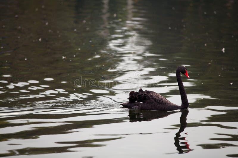 Zwarte zwaan in het water stock afbeelding