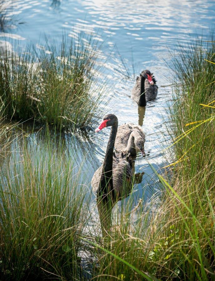 Zwarte zwaan in meer stock fotografie