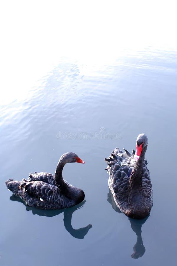 Zwarte zwanen stock afbeelding
