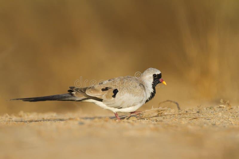 Zwartmaskerduif, Namaqua-Taube, Oena-Capensiscapensis lizenzfreies stockbild