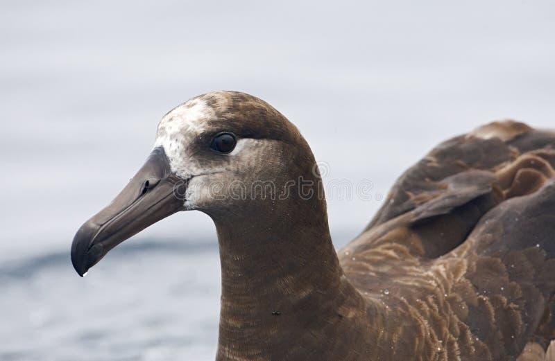 Zwartvoetalbatros, Black-footed Albatross, Diomedea nigripes royalty free stock image