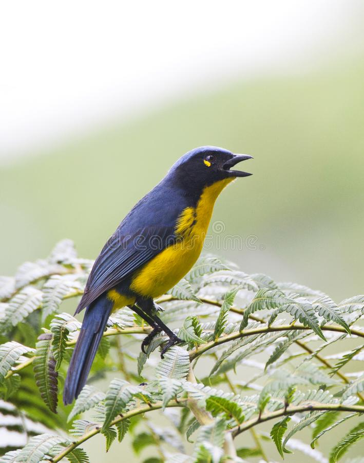 Zwartwangbergtangare, Santa Marta Mountain-Tanager, Anisognathus fotografia stock