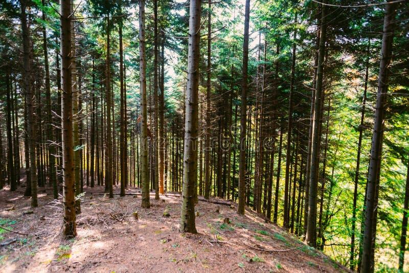 Zwarty las na zboczu zdjęcie royalty free