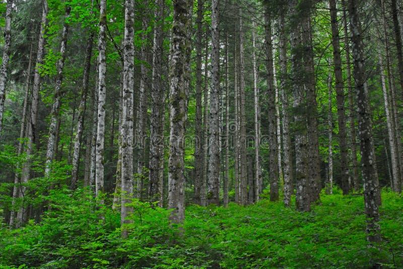 Zwarty las z zielonymi krzakami obraz stock