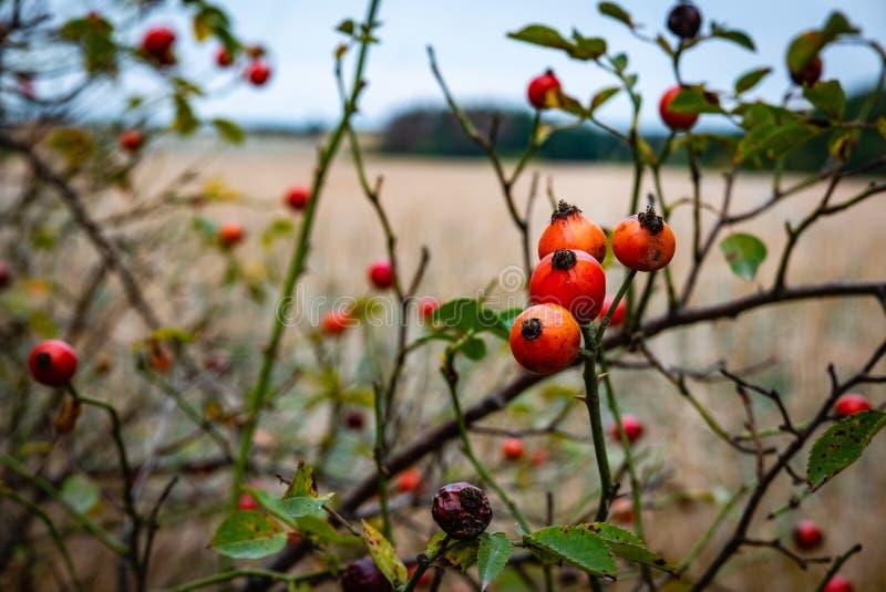 Zwarty rosehip krzak zdjęcie royalty free
