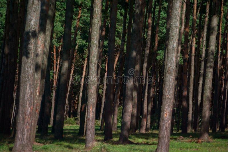 Zwarty sosnowy lasowy zbliżenie obrazy stock