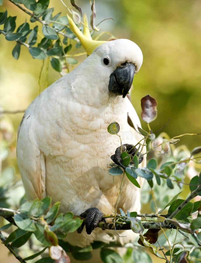Zwavel-kuifkaketoe, Cacatua-galleria, grote witte kaketoe populair in Australië en Nieuw-Guinea, grote witte papegaai in groen on royalty-vrije stock fotografie