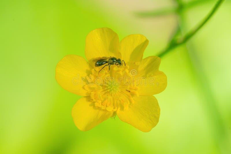 Zweetbij in het stuifmeel van een gele bloem met een vrij lichtgroene achtergrond/bokeh - het Pari van de de Wildernisstaat van S royalty-vrije stock afbeeldingen