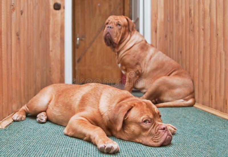 Zwei Abdeckunghunde vor der Tür lizenzfreies stockfoto