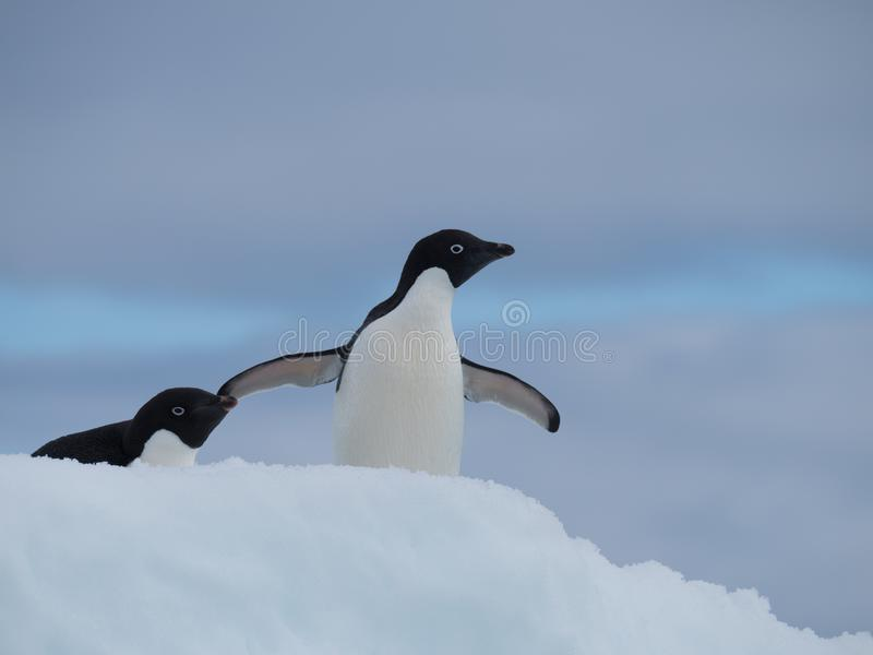 Zwei Adelie-Pinguine, die nach rechts gegenüberstellen lizenzfreie stockfotografie