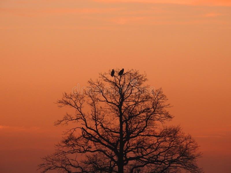Zwei Adler im Baum in den Sonnenaufgangfarben, Litauen lizenzfreie stockfotos