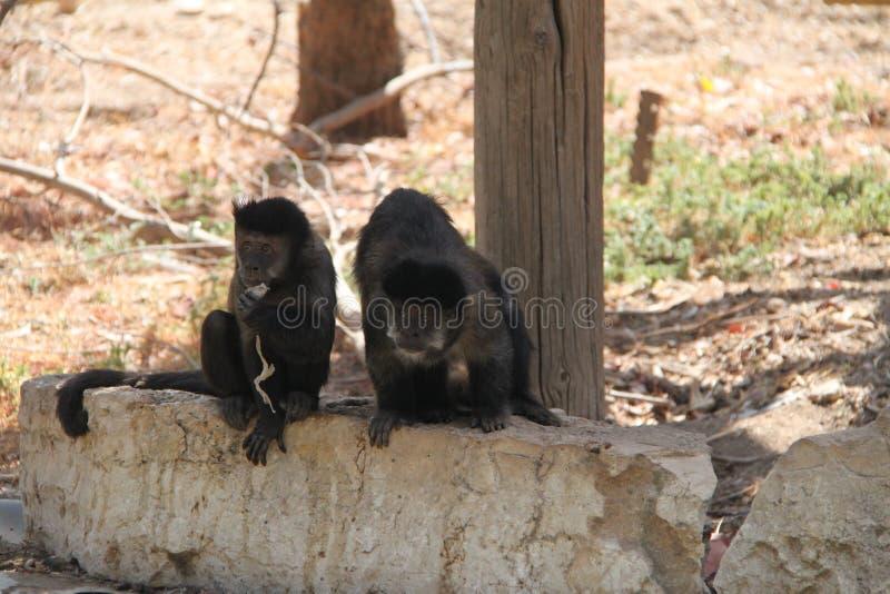 Zwei Affen, die auf einem Felsen sitzen lizenzfreie stockbilder