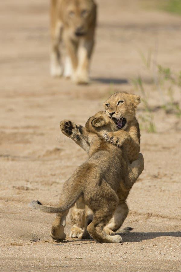 Zwei afrikanische Löwejunge (Panthera Löwe) in Südafrika stockfotos