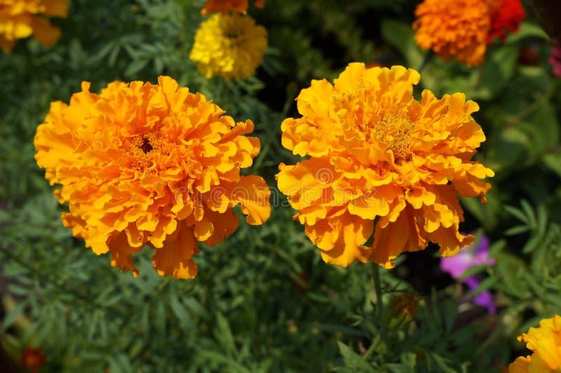 Zwei 'afrikanische Ringelblume' trägt mutige orange Blumen stockfotografie