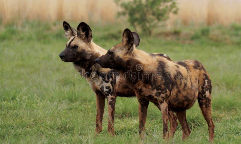 Zwei afrikanische wilde Hunde auf Abdeckung stockfotos
