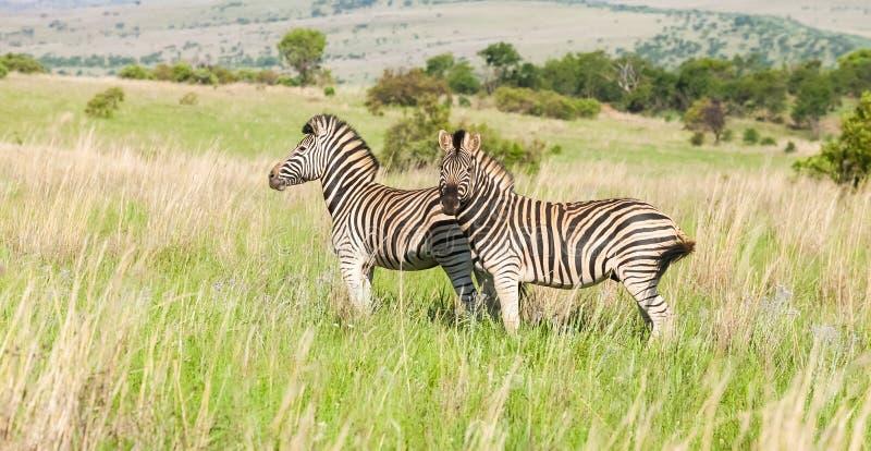 Zwei afrikanische Zebras auf der Savanne lizenzfreie stockbilder