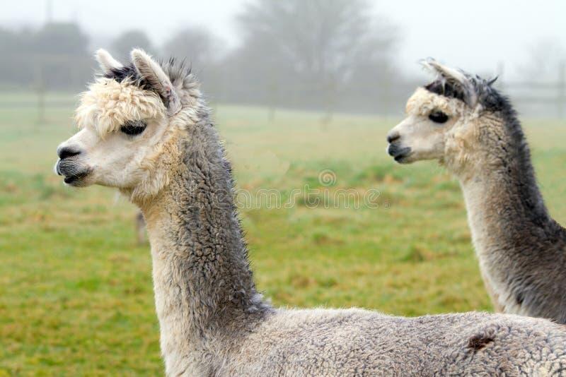 Zwei Alpacas im Profil stockfotos