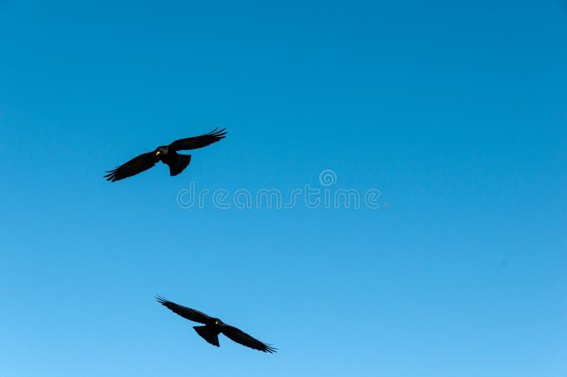 Zwei Alpendohlen oder Alpendohlefliegen, die Schweiz lizenzfreie stockbilder