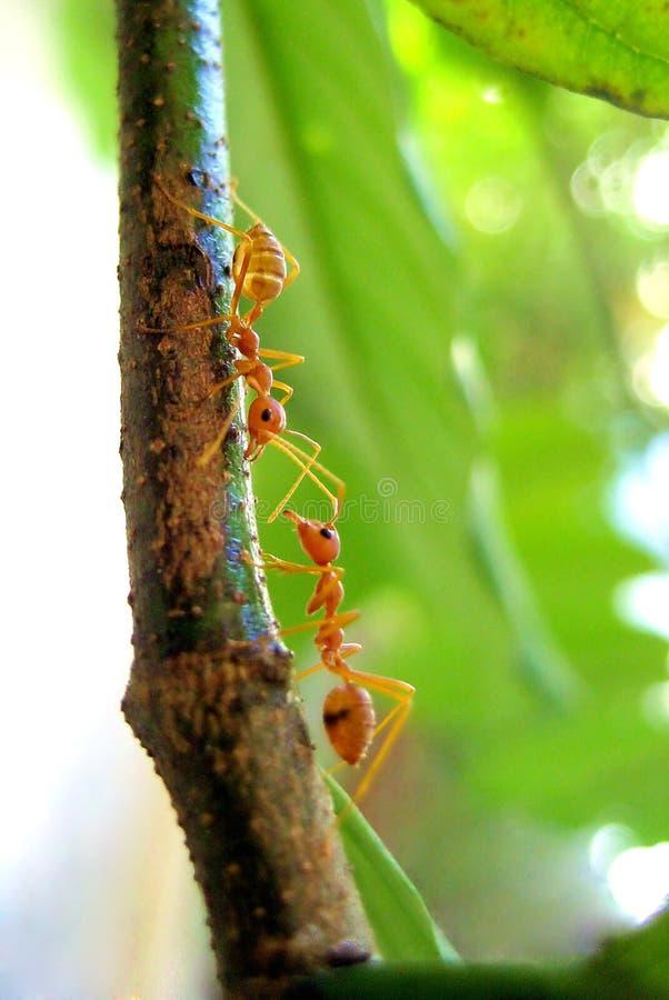 Zwei Ameisen stockfotografie