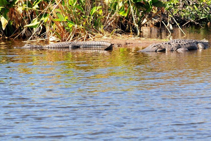 Zwei amerikanische Krokodile lizenzfreie stockbilder