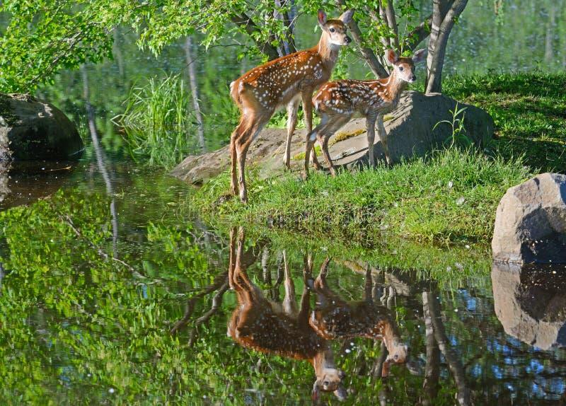 Zwei angebundene Rotwild- und Wasserreflexionen des Babys Weiß stockfotos
