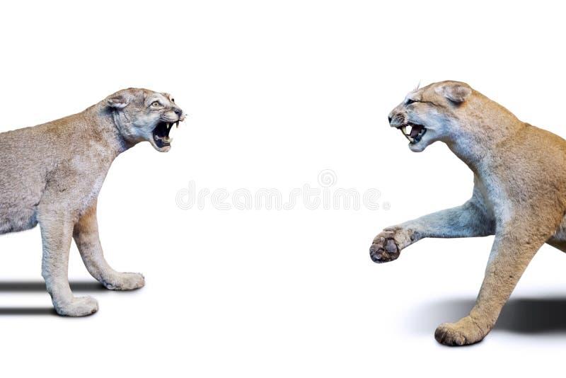 Zwei angefüllte Löwinbrüllen an einander auf Studio lizenzfreies stockfoto