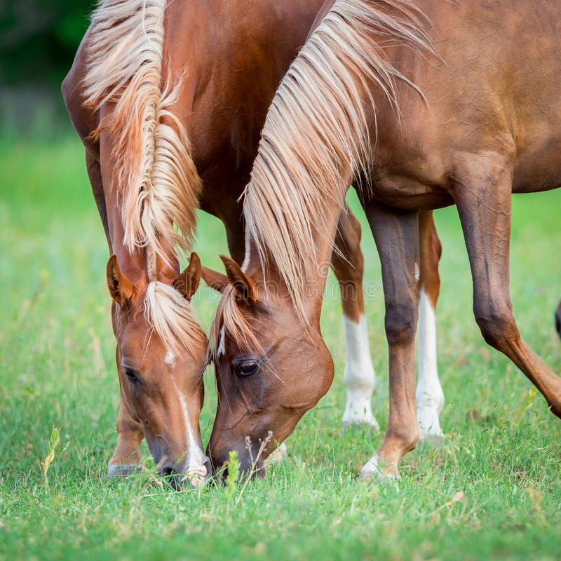Zwei arabische Pferde, die Gras auf dem Gebiet essen stockfotografie