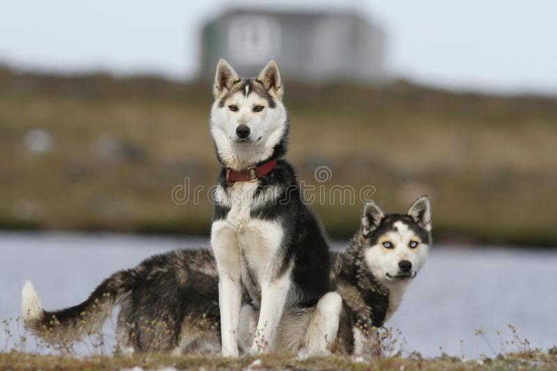 Zwei arktische Schlittenhunde, die wachsam sind stockbild
