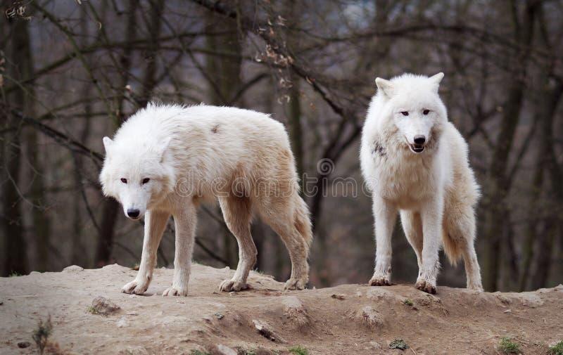 Zwei arktische Wölfe stockbilder