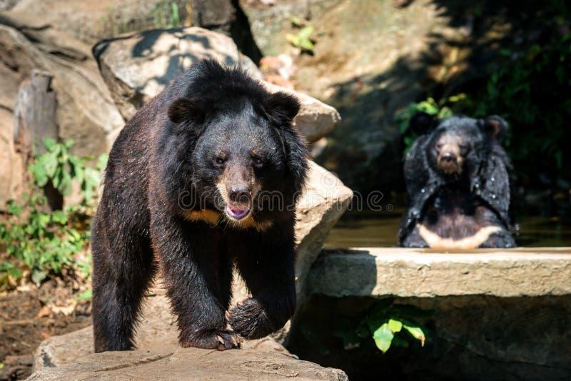 Zwei Bären, die auf dem Felsen sitzen lizenzfreie stockfotos