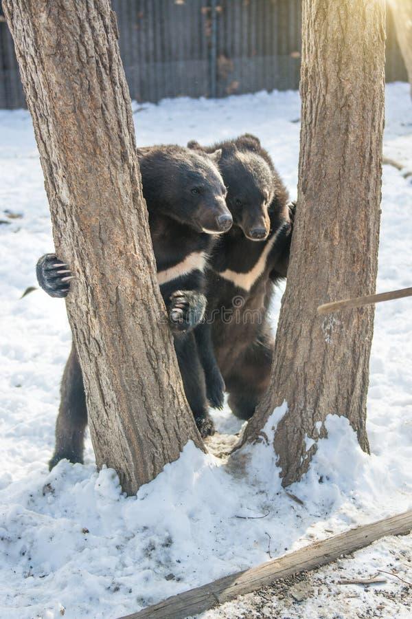 Zwei Bärenjunge, die im Schnee, in den hohen Bäumen und in den homosexuellen Jungen stolpern spielen stockfoto