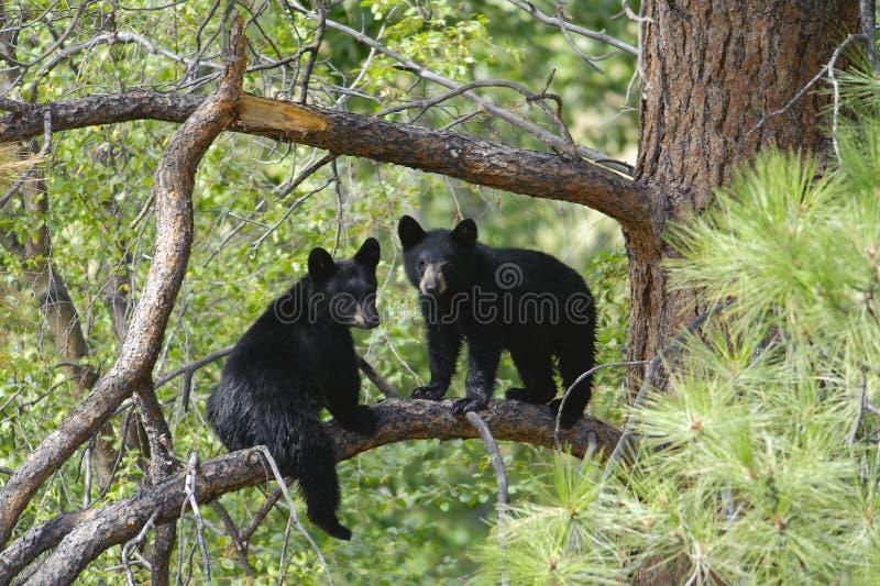 Zwei Bärenjunges, das auf einem Baum-Zweig sitzt stockfotografie