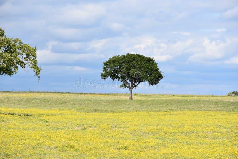 Zwei Bäume, die auf einem Gebiet umfasst in den gelben Blumen mit einem bewölkten Himmel stehen stockfoto