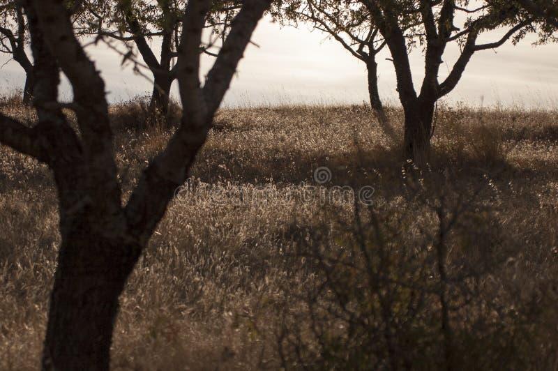 Zwei Bäume hintergrundbeleuchtet auf dem Hügel stockfotos