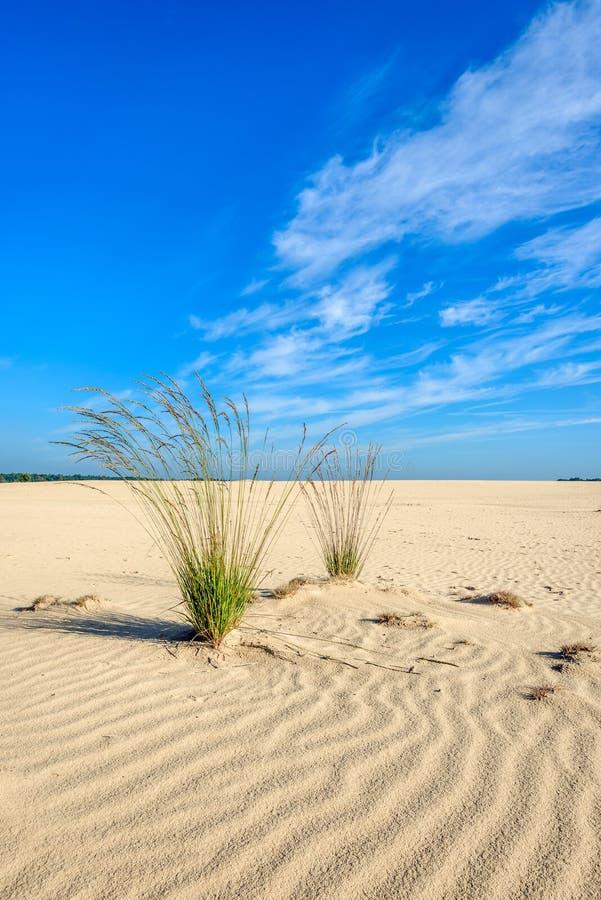 Zwei Büschel Purpur machen Gras in einem desertlike weiten Bereich fest lizenzfreie stockbilder