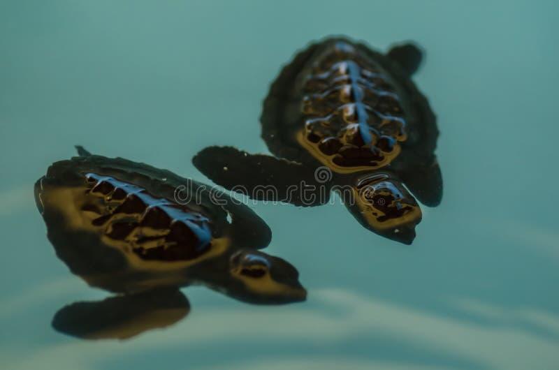 Zwei Babymeeresschildkröten stockfotografie
