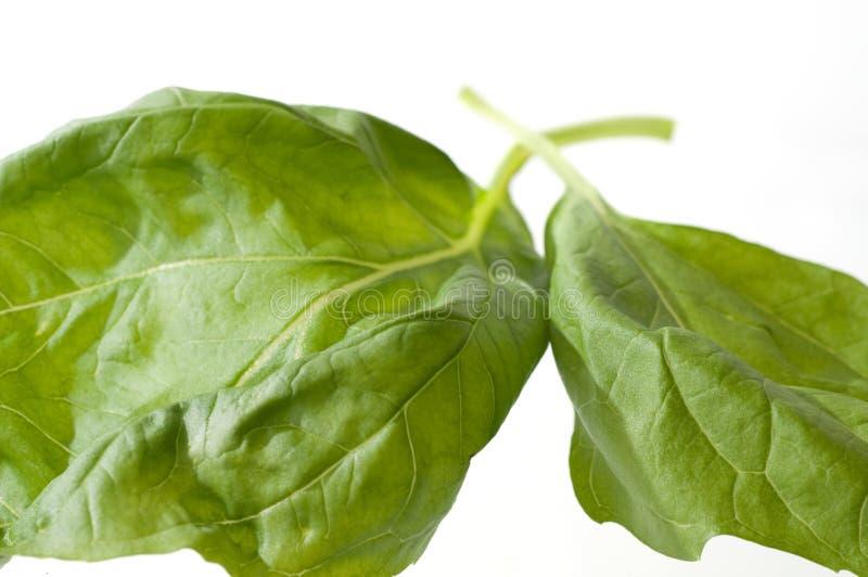 Zwei Basilikum-Blätter stockfoto
