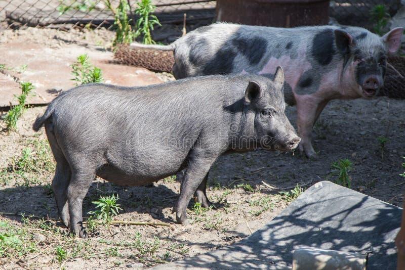 Zwei Bauernhofschweine lizenzfreies stockfoto