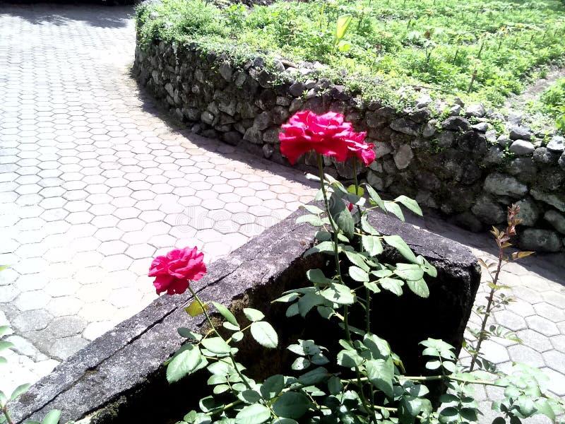 Zwei beautyful Rosen lizenzfreie stockbilder