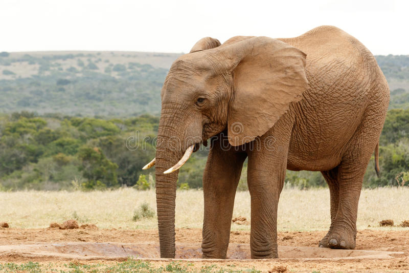 Zwei Beine in der Wasserstelle - Bush-Elefant lizenzfreie stockfotografie