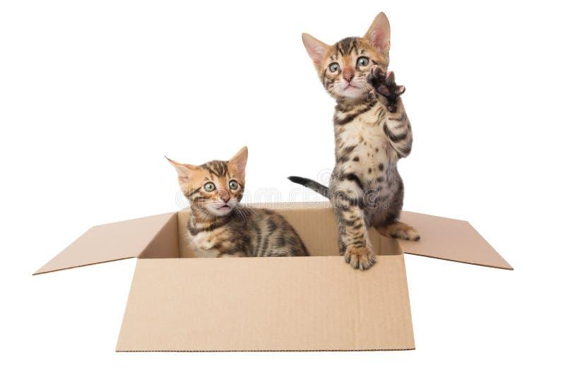 Zwei Bengal-Kätzchen in einer Pappschachtel lizenzfreie stockfotografie