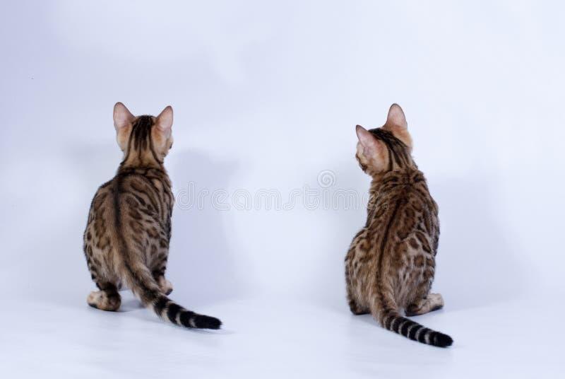Zwei beschmutzten Katzen von Bengal-Zucht stockfoto
