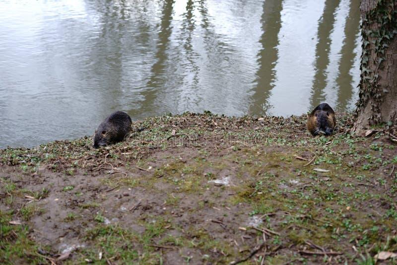 Zwei Biber auf dem Riverbank lizenzfreies stockbild