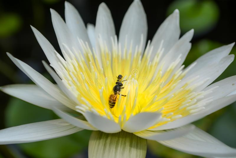 Zwei Bienen auf einem weißen Lotos in einem Teich stockbilder