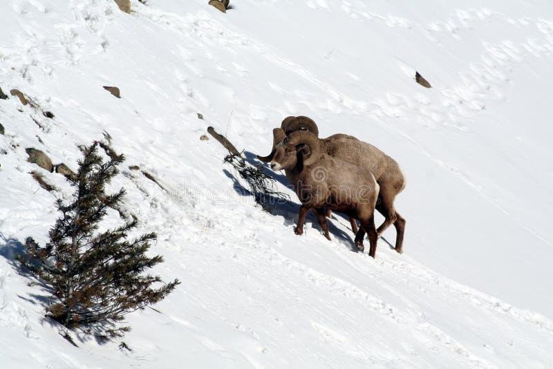 Zwei Big Horn-Schafe auf schneebedeckter Gebirgsseite lizenzfreie stockfotos