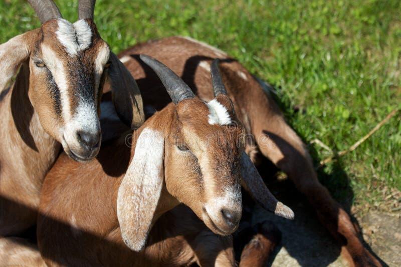 Zwei Billy-Ziegen stockfotos