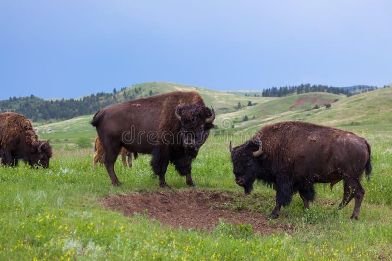 Zwei Bison Bulls Looking zur Seite lizenzfreie stockfotos