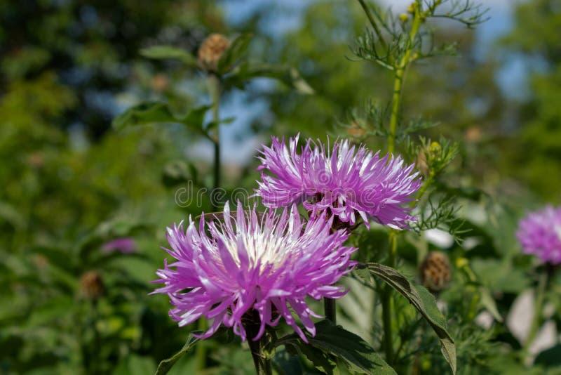 Zwei bl?hende lila Blumen im Garten im ?berfluss an den gr?nen St?mmen im Hintergrund stockfoto